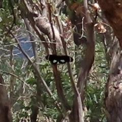 Papilio aegeus (Orchard Swallowtail) at Namadgi National Park - 31 Jan 2021 by RodDeb