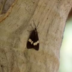 Nyctemera amicus (Senecio or Magpie moth) at Namadgi National Park - 31 Jan 2021 by RodDeb