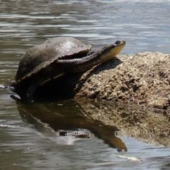 Chelodina longicollis (Eastern Long-neck Turtle) at Namadgi National Park - 31 Jan 2021 by RodDeb
