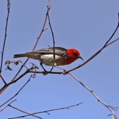 Myzomela sanguinolenta (Scarlet Honeyeater) at Namadgi National Park - 31 Jan 2021 by RodDeb