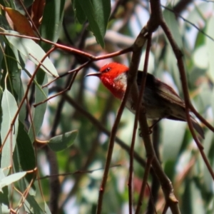Myzomela sanguinolenta at Namadgi National Park - 31 Jan 2021