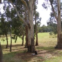 Eucalyptus globulus subsp. bicostata (Southern Blue Gum, Eurabbie) at Federal Golf Course - 31 Jan 2021 by MichaelMulvaney