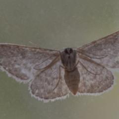 Idaea (genus) (A Geometer Moth) at Googong, NSW - 30 Jan 2021 by WHall