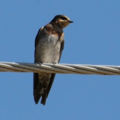 Hirundo neoxena (Welcome Swallow) at Apex Park (The Pines) - 29 Jan 2021 by PaulF
