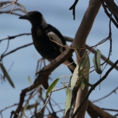 Gymnorhina tibicen (Australian Magpie) at Apex Park (The Pines) - 29 Jan 2021 by PaulF