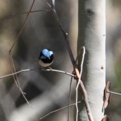 Malurus cyaneus (Superb Fairywren) at Apex Park (The Pines) - 29 Jan 2021 by PaulF