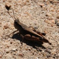 Phaulacridium vittatum (Wingless Grasshopper) at Apex Park (The Pines) - 30 Jan 2021 by PaulF