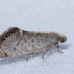 Eupselia melanostrepta (A Twig moth) at Melba, ACT - 22 Jan 2021 by kasiaaus