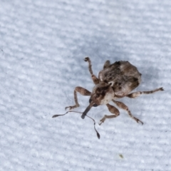 Unidentified Weevil (Curculionoidea) (TBC) at Melba, ACT - 22 Jan 2021 by kasiaaus