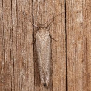 Unidentified Oecophoridae group 2 at Melba, ACT - 22 Jan 2021