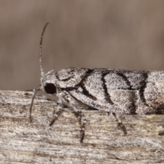 Lichenaula onychodes (A Xyloryctid moth) at Melba, ACT - 22 Jan 2021 by kasiaaus