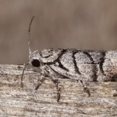 Lichenaula onychodes (A Xyloryctid moth) at Melba, ACT - 22 Jan 2021 by kasiaaus
