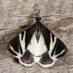 Phrataria bijugata (Bold Phrataria) at Melba, ACT - 22 Jan 2021 by kasiaaus