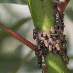 Eurymeloides punctata (Gumtree hopper) at Scullin, ACT - 28 Nov 2020 by AlisonMilton