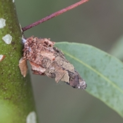 Psychidae (family) (Unidentified case moth or bagworm) at Scullin, ACT - 28 Nov 2020 by AlisonMilton