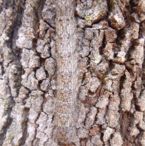 Unidentified Terrestrial invertebrate (TBC) at suppressed by TathraPreschool