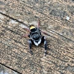 Apricia jovialis (Jovial jumping spider) at Aranda, ACT - 1 Feb 2021 by KMcCue