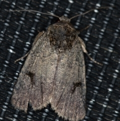Thoracolopha undescribed species MoV6 at Melba, ACT - 30 Jan 2021 by Bron
