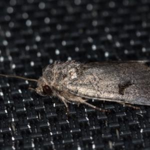 Thoracolopha undescribed species MoV6 at Melba, ACT - 31 Jan 2021