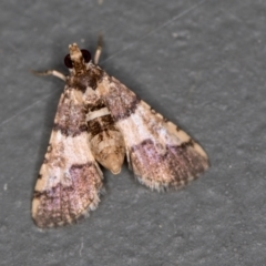 Nacoleia mesochlora (Pied Crambid) at Melba, ACT - 30 Jan 2021 by Bron