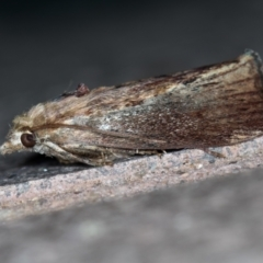 Galleria mellonella (Greater Wax Moth) at Melba, ACT - 30 Jan 2021 by Bron