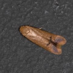 Tachystola hemisema (A Concealer moth) at Melba, ACT - 30 Jan 2021 by Bron