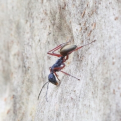 Camponotus suffusus (Golden-tailed sugar ant) at Dryandra St Woodland - 31 Jan 2021 by ConBoekel