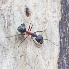 Camponotus intrepidus at Dryandra St Woodland - 1 Feb 2021