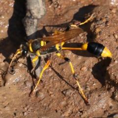 Sceliphron laetum (Common mud dauber wasp) at Mount Ainslie - 31 Jan 2021 by jbromilow50