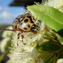 Neorrhina punctata (Spotted Flower Chafer) at Rugosa at Yass River - 30 Jan 2021 by SenexRugosus
