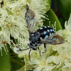 Thyreus caeruleopunctatus (Chequered cuckoo bee) at Rugosa at Yass River - 1 Feb 2021 by SenexRugosus