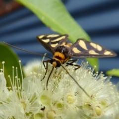 Amata (genus) (Handmaiden) at Rugosa at Yass River - 1 Feb 2021 by SenexRugosus