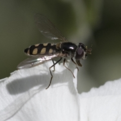 Melangyna viridiceps (Hover fly) at Higgins, ACT - 13 Nov 2020 by AlisonMilton