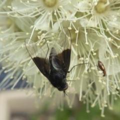 Geron nigralis (Slender bee fly) at Rugosa at Yass River - 1 Feb 2021 by SenexRugosus
