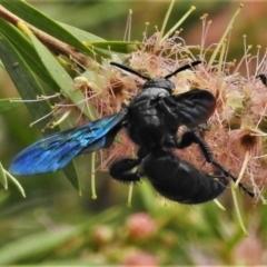 Austroscolia soror (Blue-winged flower wasp) at Majura, ACT - 1 Feb 2021 by JohnBundock