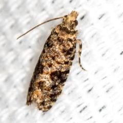Isochorista sp.(genus) at Melba, ACT - 30 Jan 2021