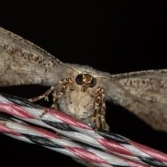 Circopetes obtusata (Grey Twisted Moth) at Melba, ACT - 30 Jan 2021 by Bron