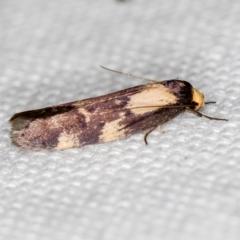 Palimmeces leucopelta at Melba, ACT - 31 Jan 2021