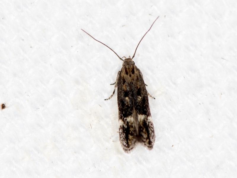 Oecophoridae (family) at Melba, ACT - 31 Jan 2021