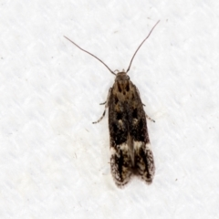 Oecophorinae (subfamily) (Unidentified Oecophorinae concealer moth) at Melba, ACT - 30 Jan 2021 by Bron