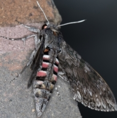 Agrius convolvuli (Convolvulus Hawk Moth) at Melba, ACT - 30 Jan 2021 by Bron