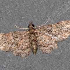 Chloroclystis (genus) (A geometer moth) at Melba, ACT - 30 Jan 2021 by Bron