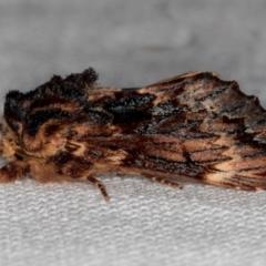 Sorama bicolor (Two-coloured Notodonid) at Melba, ACT - 30 Jan 2021 by Bron
