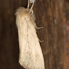 Bathytricha truncata at Melba, ACT - 4 Jan 2021