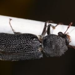 Unidentified Other beetle (TBC) at Melba, ACT - 23 Jan 2021 by kasiaaus