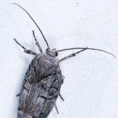 Illidgea epigramma (A Gelechioid moth) at Melba, ACT - 22 Jan 2021 by kasiaaus