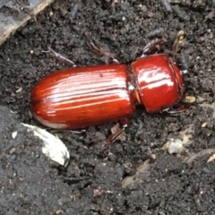 Unidentified Beetle (Coleoptera) (TBC) at O'Connor, ACT - 1 Feb 2021 by Cathy