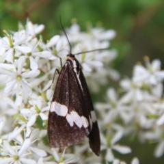 Nyctemera amicus (Senecio or Magpie moth) at Mongarlowe River - 31 Jan 2021 by LisaH