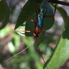 Lissopimpla excelsa (Orchid dupe wasp) at Aranda, ACT - 31 Jan 2021 by Jubeyjubes