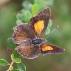 Paralucia pyrodiscus (Fiery Copper) at Mongarlowe, NSW - 31 Jan 2021 by LisaH